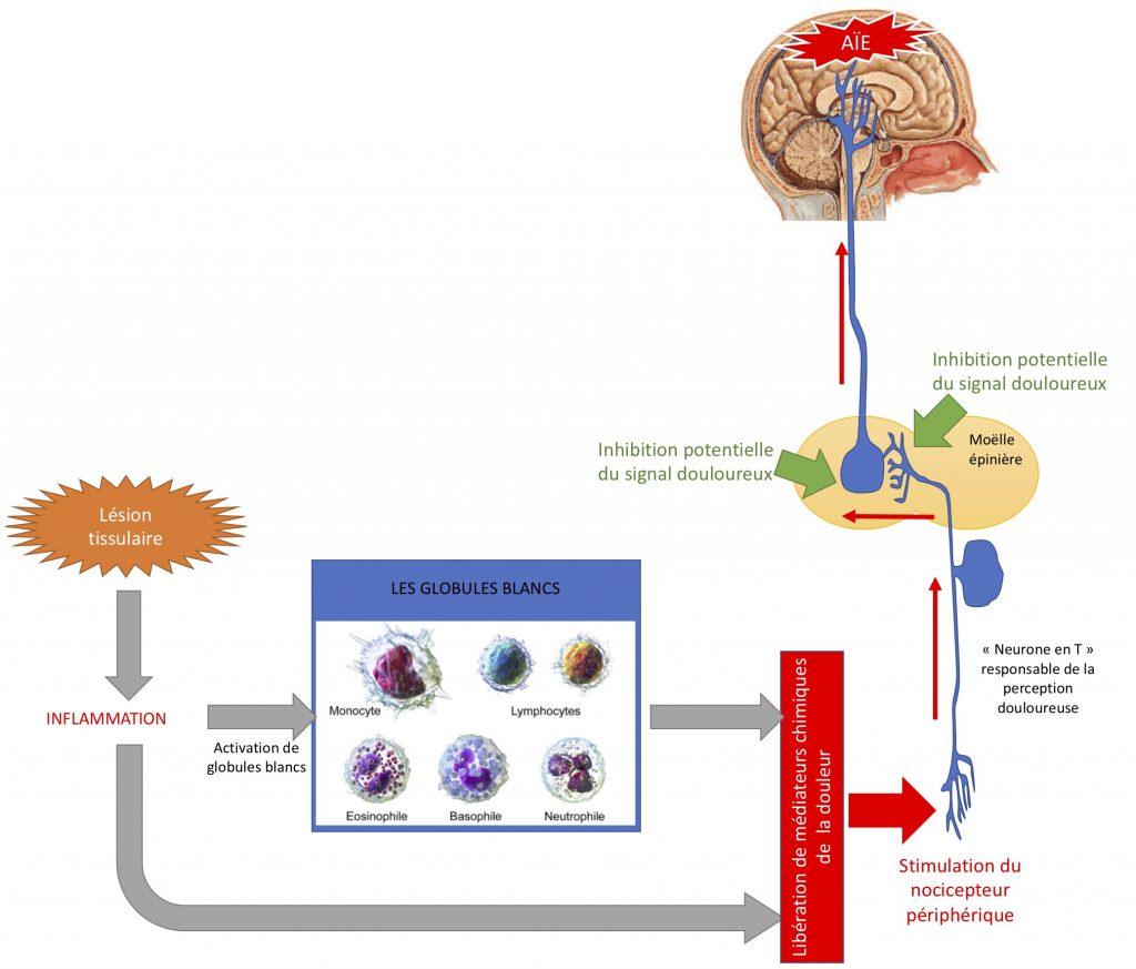 Figure 1 : Les différents acteurs internant dans la gestion de la douleur (nociception).