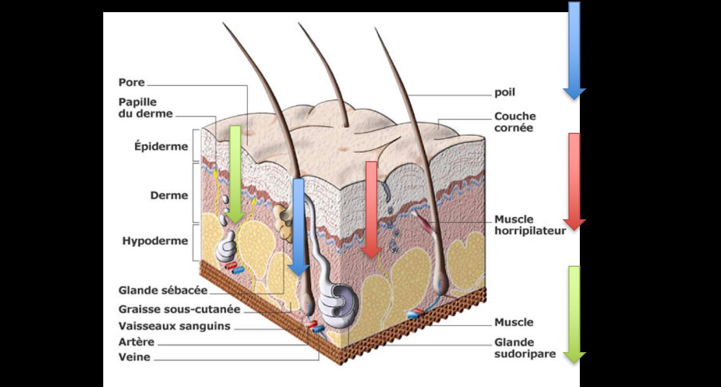Passage des composés actifs à travers la peau.