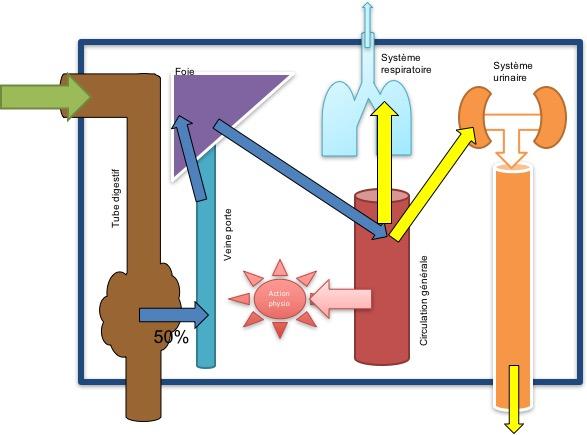 Absorption et action des huiles essentielles après prise en voie orale