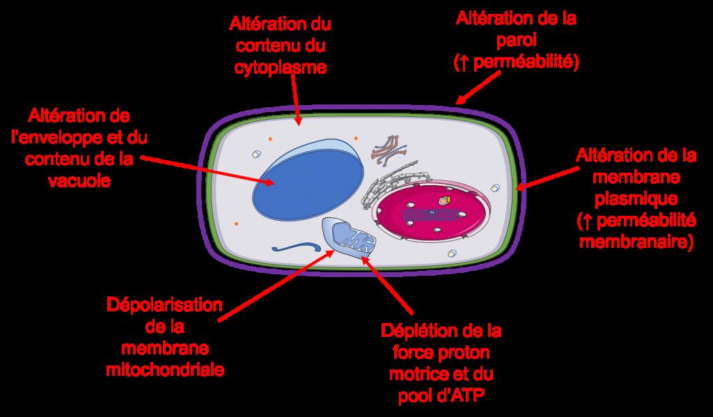 Mode d'action des huiles essentielles sur les champignons