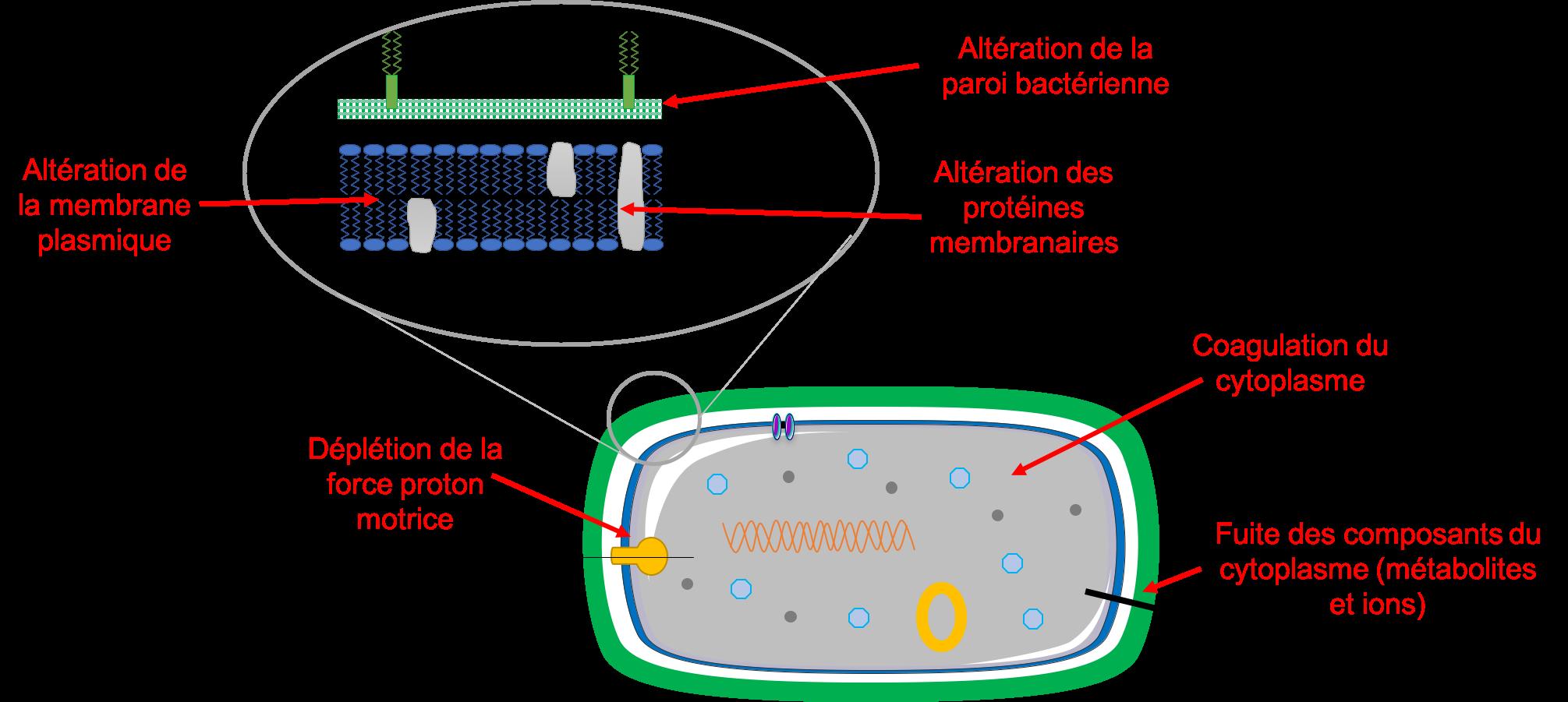 Mode d'action des HE sur les bactéries