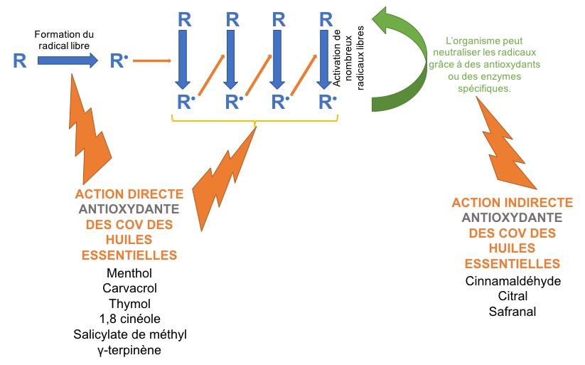 Action antioxydante des huiles essentielles