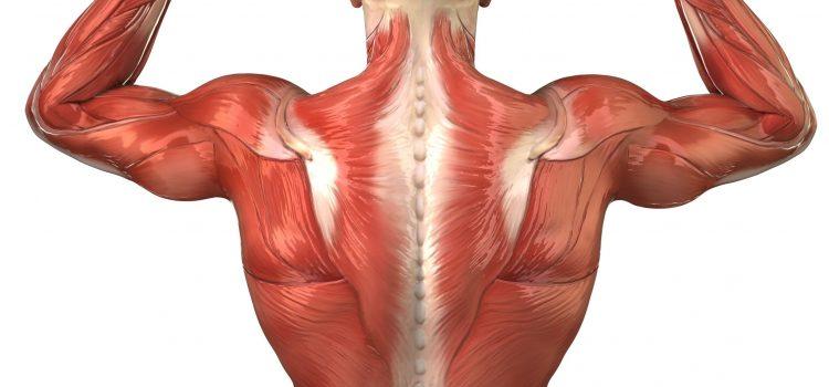 Tissus musculaires et huiles essentielles