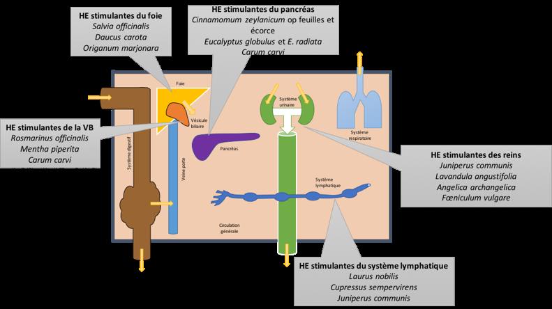 Emonctoires et HE selon la théorie endobiogénique (3).