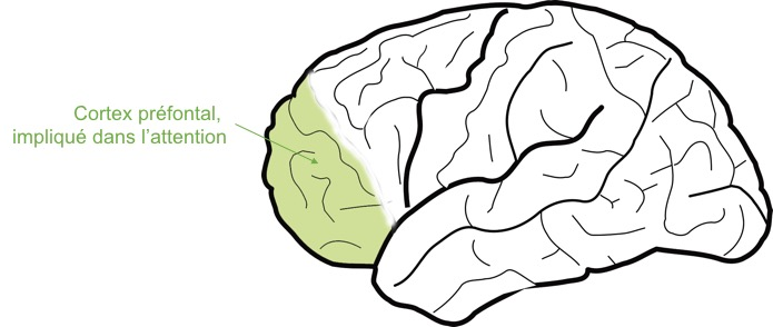Fig 2 : le cortex préfontal et son rôle.