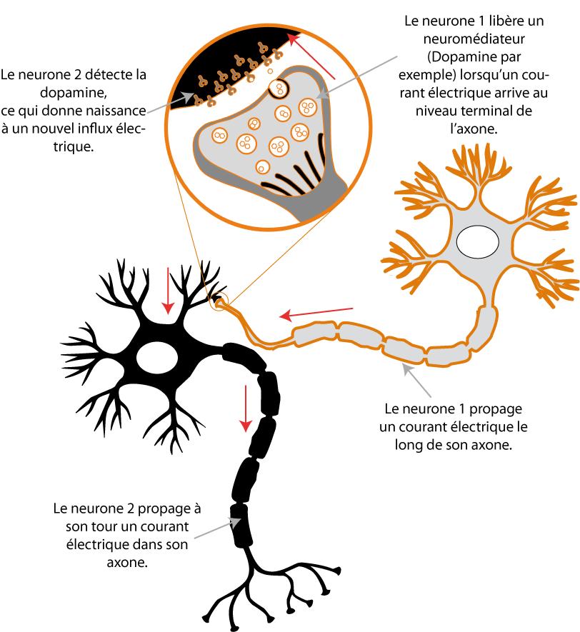 Fig 1 : Le fonctionnement d'une synapse.