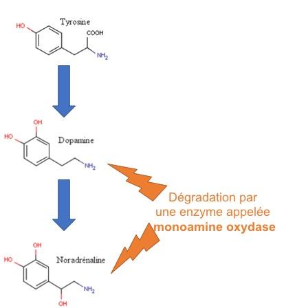 Fig 3 : Voies de biosynhtèse et de dégradation des monoamines (dopamine et noradrénaline).