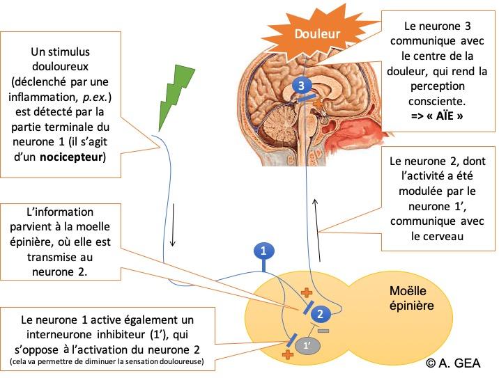 Figure 2 : Les différents acteurs de la voie nociceptive.