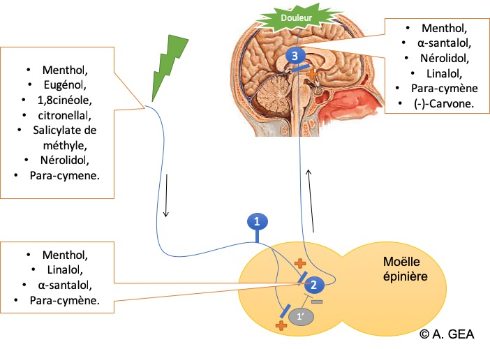 Figure 4 : Sites d'action des différentes molécules ayant une action antalgique.